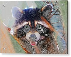 Raccoon Face Acrylic Print by David Lee Thompson