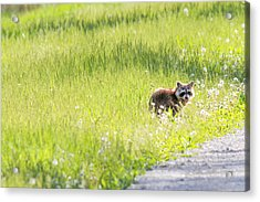 Raccoon In Green Field Acrylic Print by Jill Bell