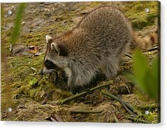 Raccoon Acrylic Print by Mark Russell