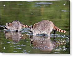 Raccoon Mother And Baby Acrylic Print