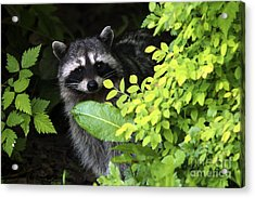 Raccoon Peek-a-boo Acrylic Print by Sharon Talson