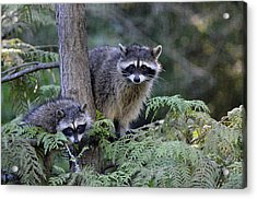 Raccoons In Stanley Park Acrylic Print by Maria Angelica Maira