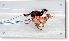 Racing Sled Dogs Acrylic Print