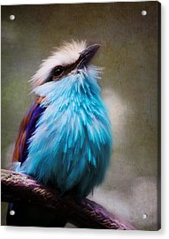 Racket-tailed Roller Acrylic Print by Ron Grafe