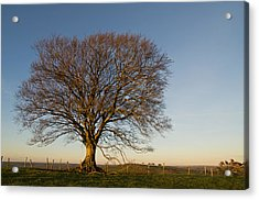 Raddon Hill Top Tree Acrylic Print