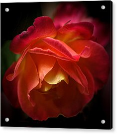 Radiant Rose Acrylic Print by Ronda Broatch