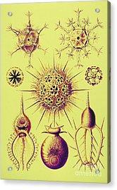 Radiolarians  Acrylic Print by Scott Camazine