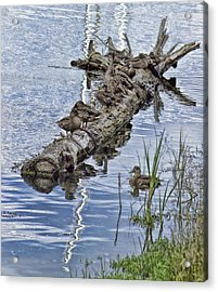 Raft Of Ducks Acrylic Print by Cathy Anderson