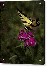 Ragged Wings Acrylic Print