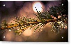 Rain Droplets On Pine Needles Acrylic Print by Loriental Photography