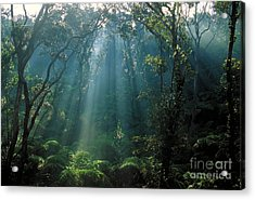 Rain Forest Of Tree Ferns Acrylic Print by Gregory G. Dimijian