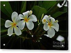 Rain Kissed Plumeria Acrylic Print