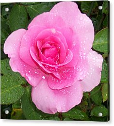 Rain Kissed Rose Acrylic Print by Catherine Gagne