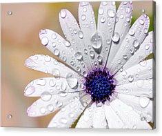 Rain Soaked Daisy Acrylic Print