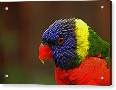 Acrylic Print featuring the photograph Rainbow Lorikeet by Andy Lawless