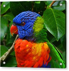 Rainbow Lorikeet Deep In Thought Acrylic Print by Margaret Saheed