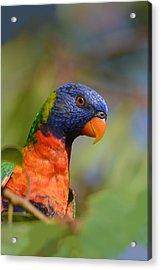 Rainbow Lorikeet Parrot  Acrylic Print