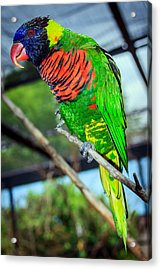 Acrylic Print featuring the photograph Rainbow Lory by Sennie Pierson
