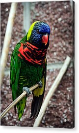 Acrylic Print featuring the photograph Rainbow Lory Too by Sennie Pierson