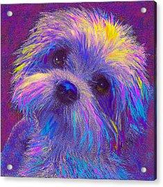 Rainbow Shih Tzu Acrylic Print by Jane Schnetlage