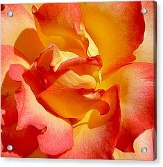 Rainbow Sorbet Rose Close Up Acrylic Print
