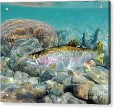 Rainbow Trout And Green Ghost Acrylic Print