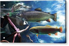 Rainbow Trout Acrylic Print by Lisa Redfern