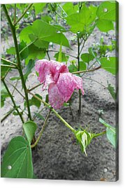 Raindrops #14 - Blooming Cotton Series - 8/5/2012 Acrylic Print by Dianna Jackson