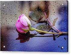 Raindrops And The Rose Acrylic Print