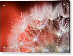 Raindrops On Dandelion Red Acrylic Print