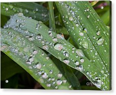 Raindrops On Daylily Leaves Acrylic Print by Jonathan Welch