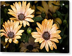 Raindrops On Gerbera Daisies Acrylic Print by Photographic Art by Russel Ray Photos