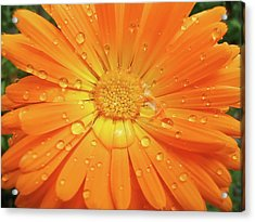 Raindrops On Orange Daisy Flower Acrylic Print