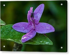 Raindrops On Purple Petals Acrylic Print