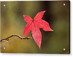 Raindrops On Red Fall Leaf Acrylic Print by Michelle Wrighton