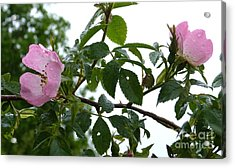 Raindrops On Roses Acrylic Print