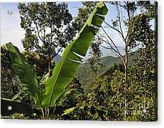 Rainforest And Banana Tree Acrylic Print by Sami Sarkis