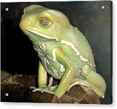 Rainforest Frog Acrylic Print by Heidi Manly