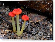 Rainforest Fungi Acrylic Print by Fletcher & Baylis