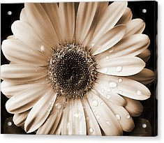 Raindrops On Gerber Daisy Sepia Acrylic Print by Jennie Marie Schell