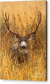 Acrylic Print featuring the photograph Rainy Mountain Buck by Aaron Whittemore