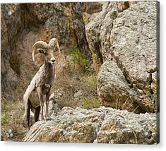 Ram Lookout Acrylic Print by Rebecca Adams
