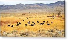 Range Cattle Acrylic Print