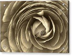 Ranunculus Acrylic Print by Cindy Rubin