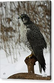 rare Discovery Gyrfalcon in the Winter Snow Acrylic Print