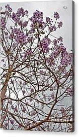 Rare Foxglove Tree - Paulownia Tomentosa  Acrylic Print