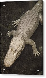 Rare White Alligator Acrylic Print