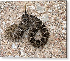 Acrylic Print featuring the photograph Rattler by Linda Cox