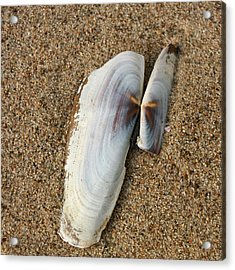 Razor Clam Acrylic Print by Bob and Jan Shriner