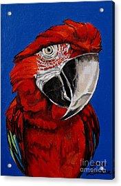 Razzy Red - Bird- Macaw Acrylic Print